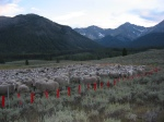 Band of Lava Lake Sheep in Fladry Corral